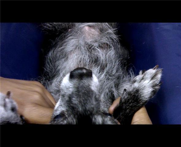 Chihuahua Abdominal Ultrasound