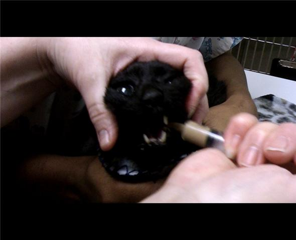 An elderly short haired black cat is gently syringe-fed food one milliliter at a time