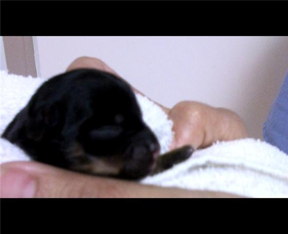 Newborn Black and tan Chihuahua Puppy Resting in a Hand Towel