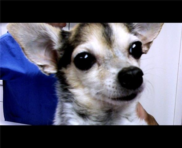 brown and tan chihuahua with a gray muzzle and bright eyes looks peaceful and happy