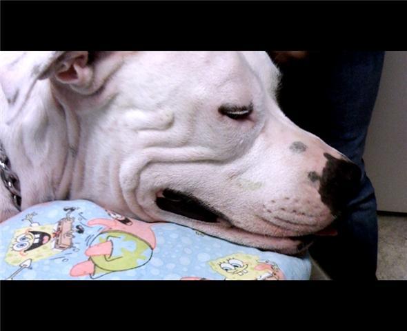 Sleeping American Staffordshire Terrier