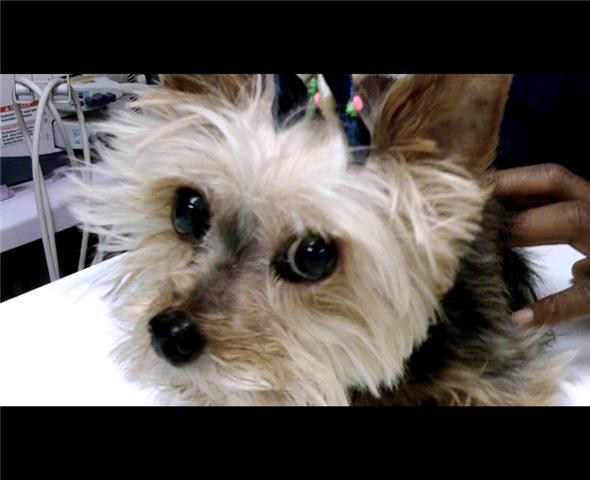 Black and Tan Puppy Cut Yorkshire Terrier