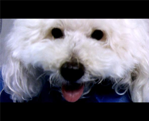 Close up of the face of a white curly furred Bichon Frise