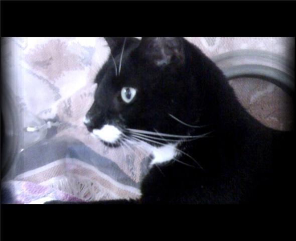 Pluto the tuxedo cat