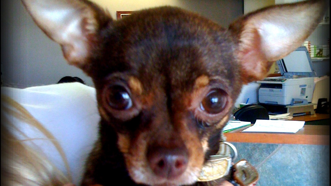 brown and tan chihuahua with outie helicopter ears