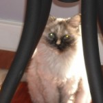 dilute tortoiseshell shaded silver himalayan cat peers out at Doc Truli through the table legs.