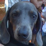 Dilute Mini Dachshund Pup blue-gray with tan markings and soulful brown eyes