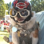 Chihuahua-Pekingnese mixed dog in a Harley helmut, Doggles, Jean jacket with patches and metal necklace with charms