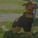 Harley Dog, tall shepherd mix dressed up