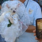 White Chihuahua  in White wedding gown and veil with onlooker taking camera picture also showing the same picture!