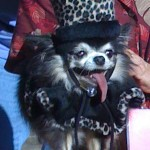 princess long haired black and tan chihuahua in a black hat and cape trimmed with faut leopard fur