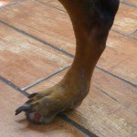 dog foot missing toe