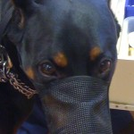 muzzled doberman pinscher dog