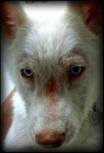 shepherd puppy mange on face