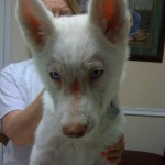 white german shepherd puppy mange
