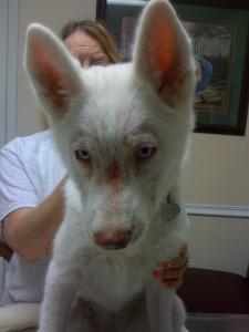 white german shepherd puppy mange