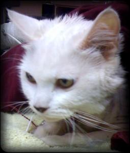 white mowgi awake after transfusion