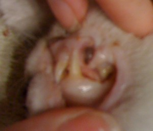 anemia makes this cat's gums white