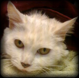 white cat looks up at camera after transfusion